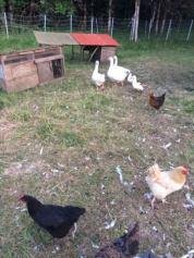 ducks cottage grove
