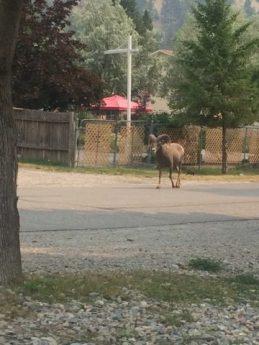 Bighorn in the street