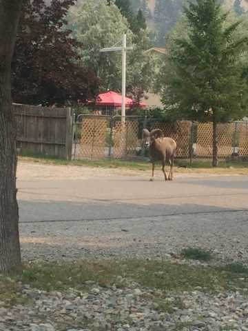 Bighorn in the street